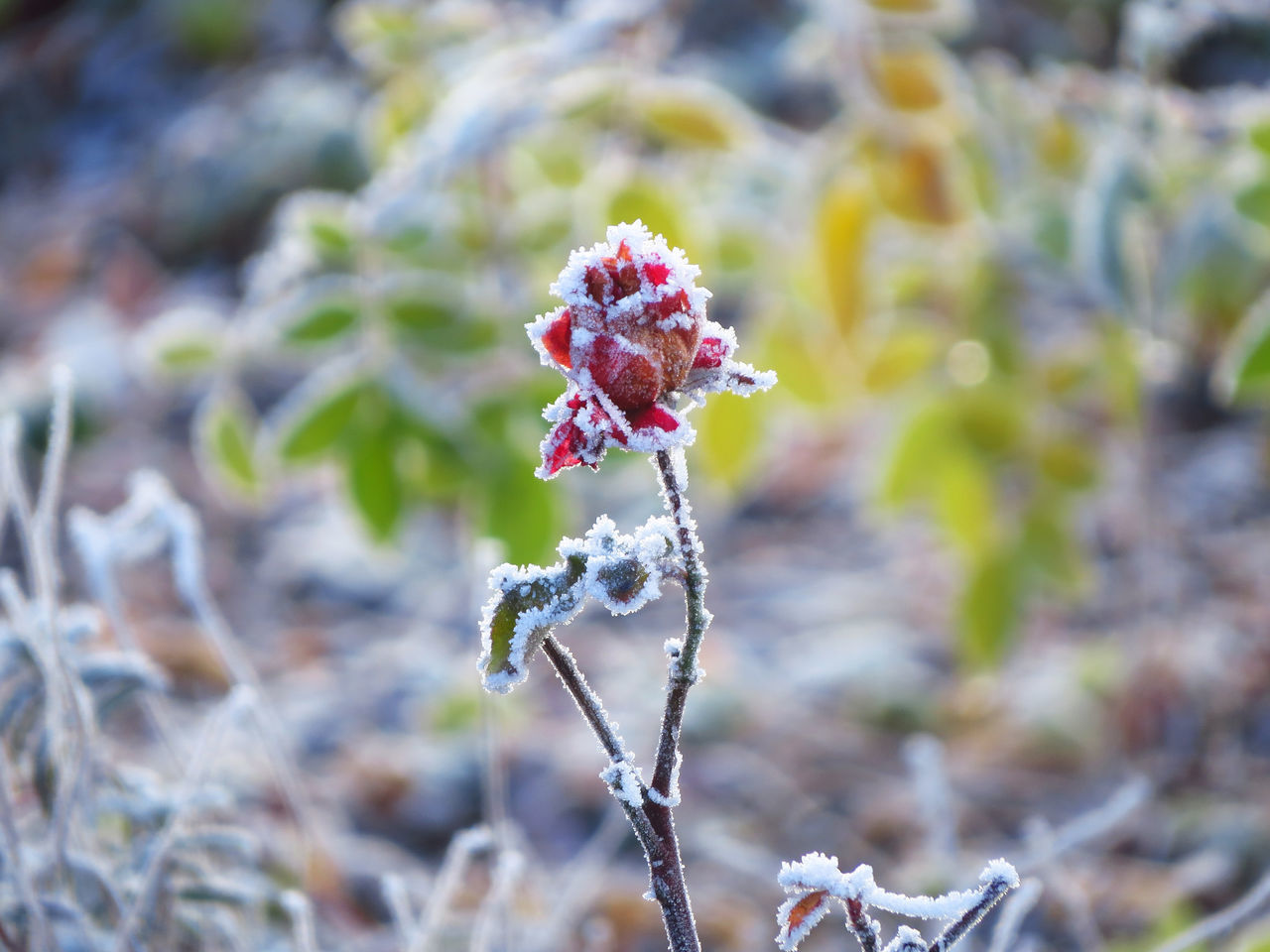 Beauty And The Beast Cold Temperature Cold Weather Fragility Frost Frosty Frosty Flower Frosty Mornings Frosty Rose Frozen Frozen Nature Hoar Frost Hoarfrost Icy Rime Rose - Flower Roses White Frost Winter Winter Scene Winter Scenery Winter Season Winter Wonderland Winter_collection Wintertime