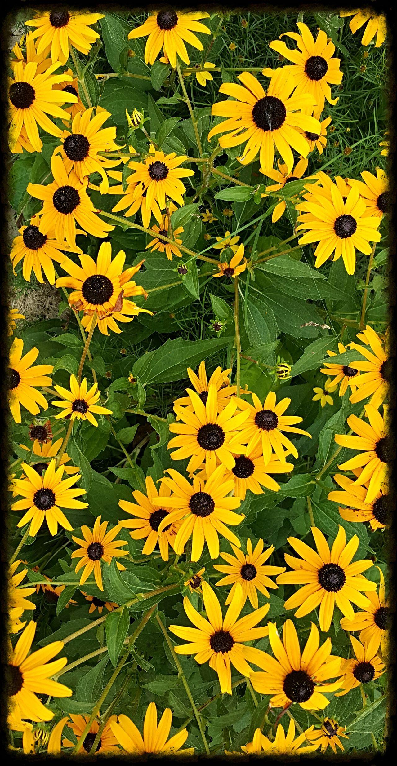 Black Eyed Susans Black-eyed Susan Blackeyedsusans Flower Flowers Backgrounds Beauty In Nature Yellow Outdoors Floral Garden Photography Garden Gardening Sunnyday