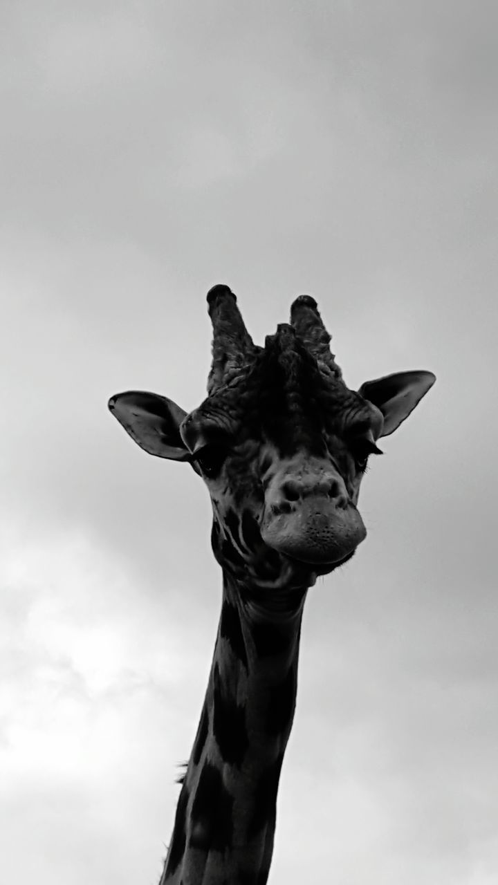 sky, giraffe, animal themes, one animal, no people, mammal, low angle view, outdoors, day, cloud - sky, nature, animals in the wild, close-up