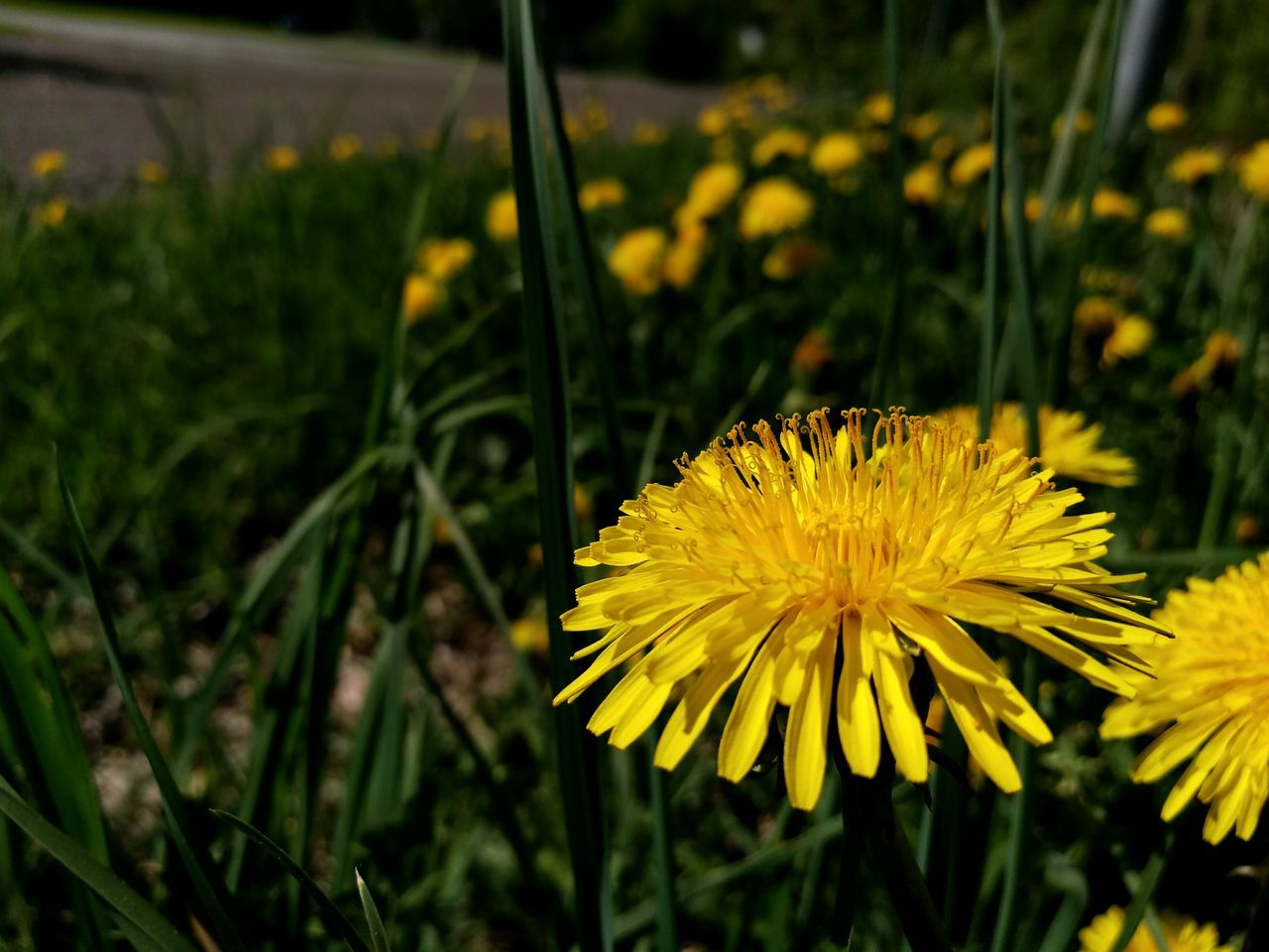 Dandelion / in Finnish: Voikukka Macro Macro Photography Macro_flower Flower Nature HuaweiP9 Smartphone