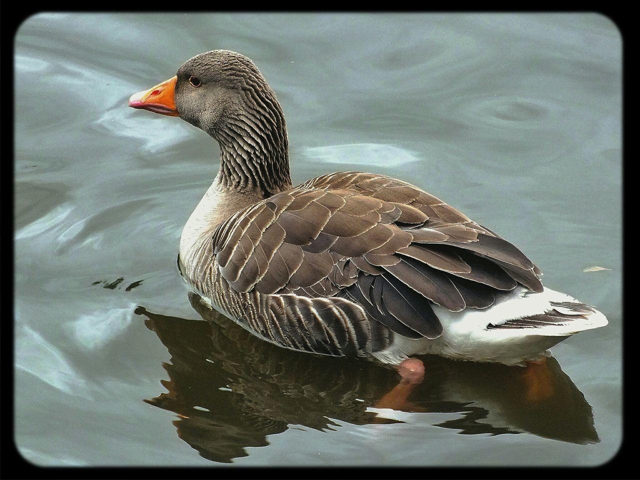 wild goose Nature