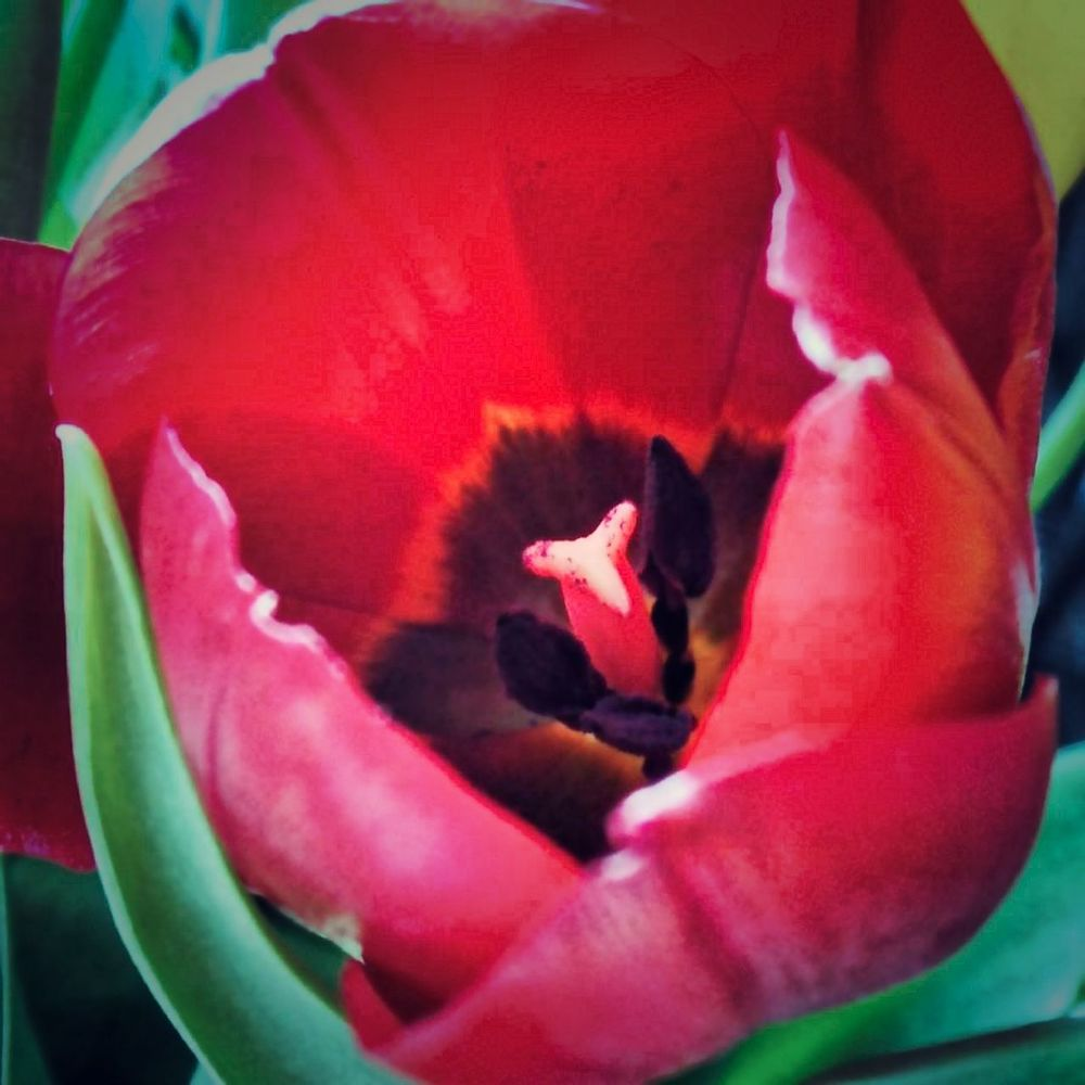 Close-up Flower Head No People Beauty In Nature Nature Flower Red Tulip Redtulip