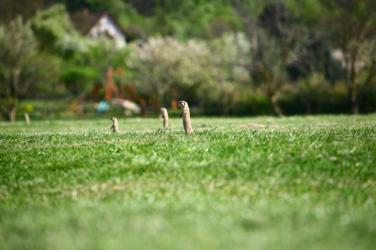 grass, field, nature, animal themes, outdoors, day, no people