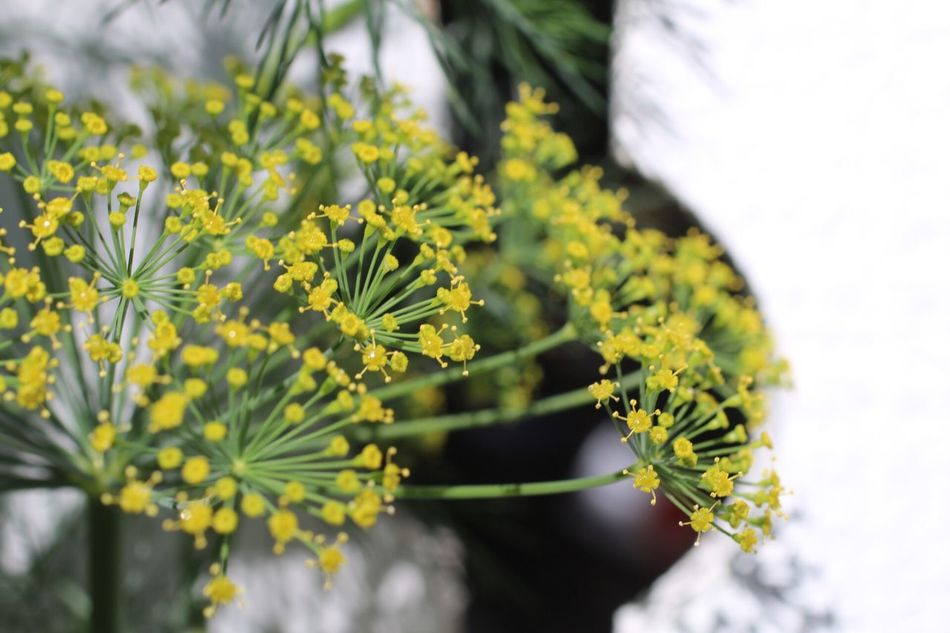 Dill Micro, My Garden, Palm, Gardens, Life Is Good! Herbs Hello World Micro Nature