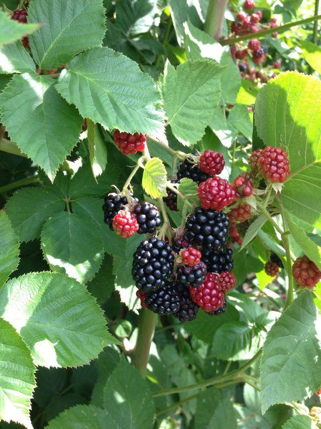 Garden Garden Photography Blackberry Brombeeren Self Cultivation Fruit Bio Harvest Brombeerstrauch Bramble