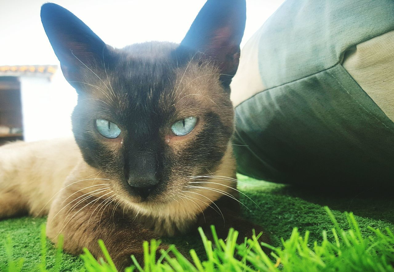 domestic cat, pets, feline, mammal, domestic animals, animal themes, one animal, looking at camera, cat, portrait, indoors, home interior, siamese cat, no people, close-up, day