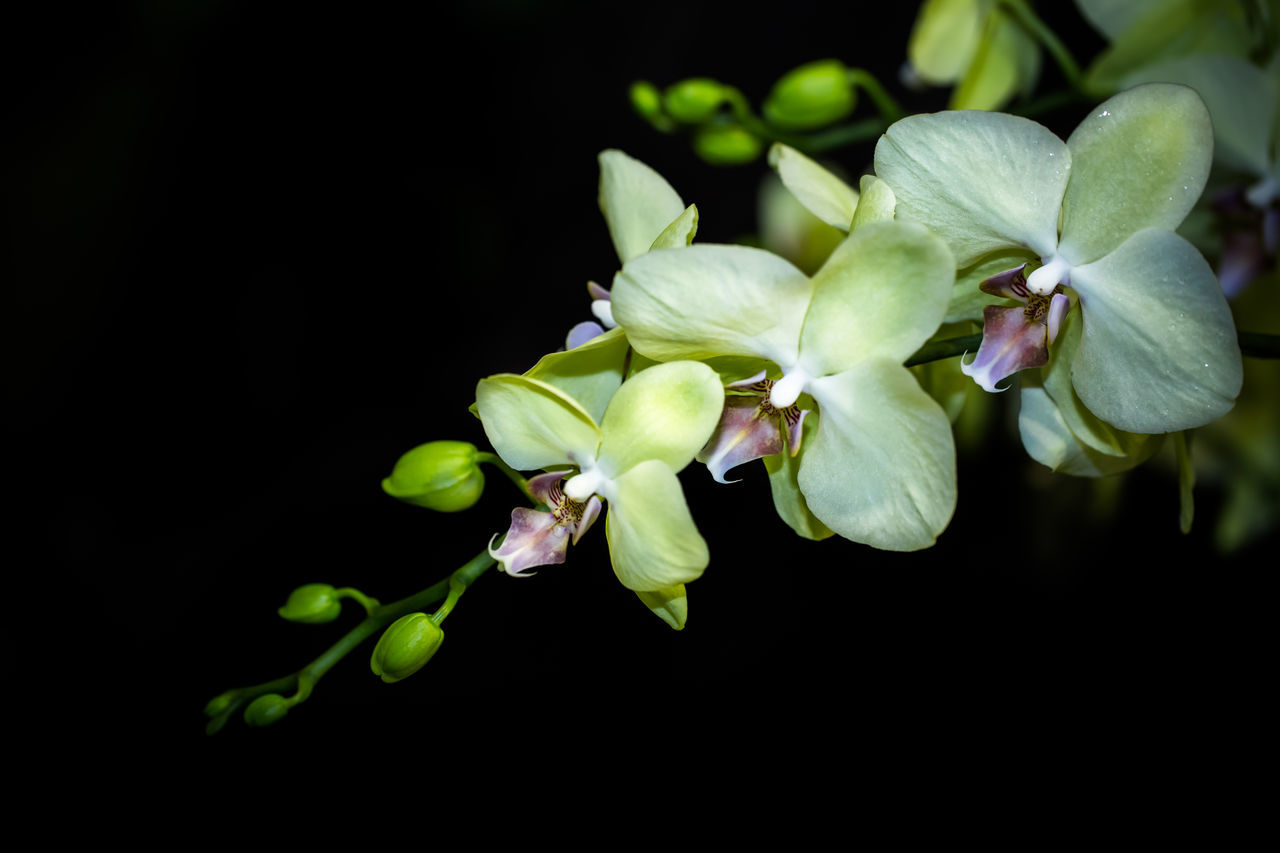 Beautiful stock photos of orchid, Beauty In Nature, Black Background, Blooming, Bud