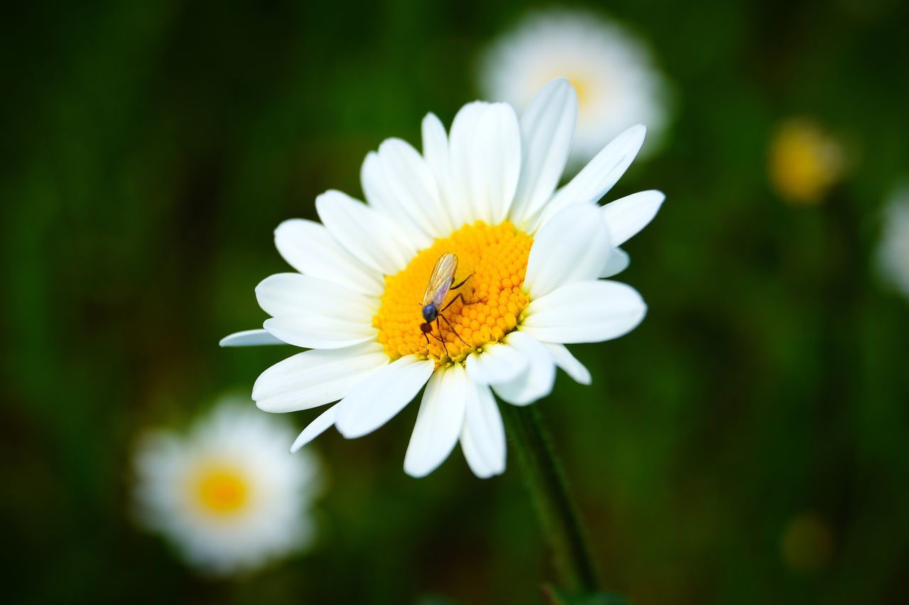 flower, one animal, petal, animal themes, fragility, insect, nature, animals in the wild, freshness, beauty in nature, yellow, flower head, white color, growth, animal wildlife, focus on foreground, close-up, pollen, plant, pollination, no people, day, outdoors, bee, blooming