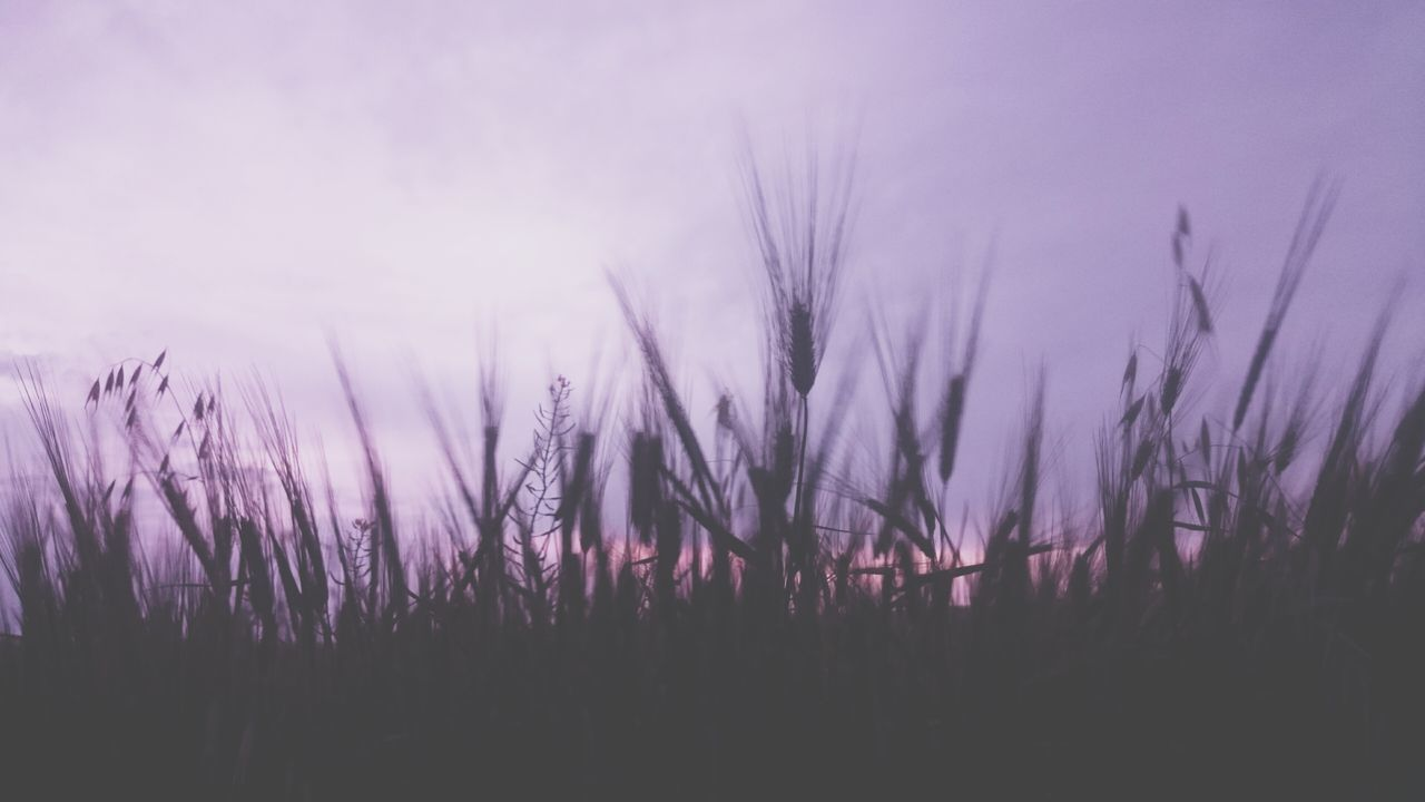 Live For The Story Purple Flower Plant Nature Sunset Outdoors Landscape No People Growth Dawn Fog Backgrounds Sky Rural Scene Scenics Close-up Night Beauty In Nature Freshness Wheat Wheat Field The Great Outdoors - 2017 EyeEm Awards
