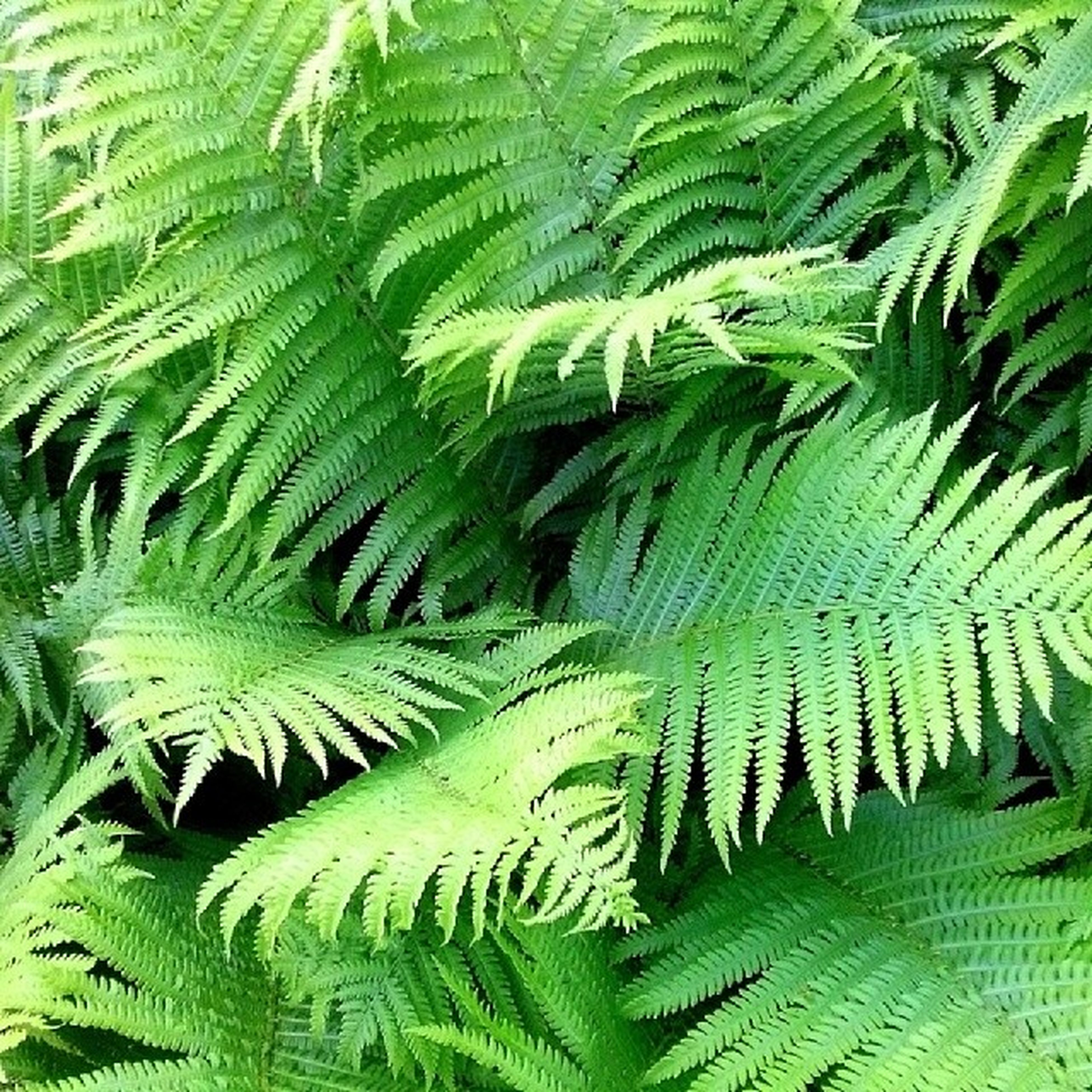 green color, growth, full frame, leaf, backgrounds, nature, natural pattern, fern, beauty in nature, plant, agriculture, tranquility, green, close-up, lush foliage, pattern, high angle view, no people, day, outdoors