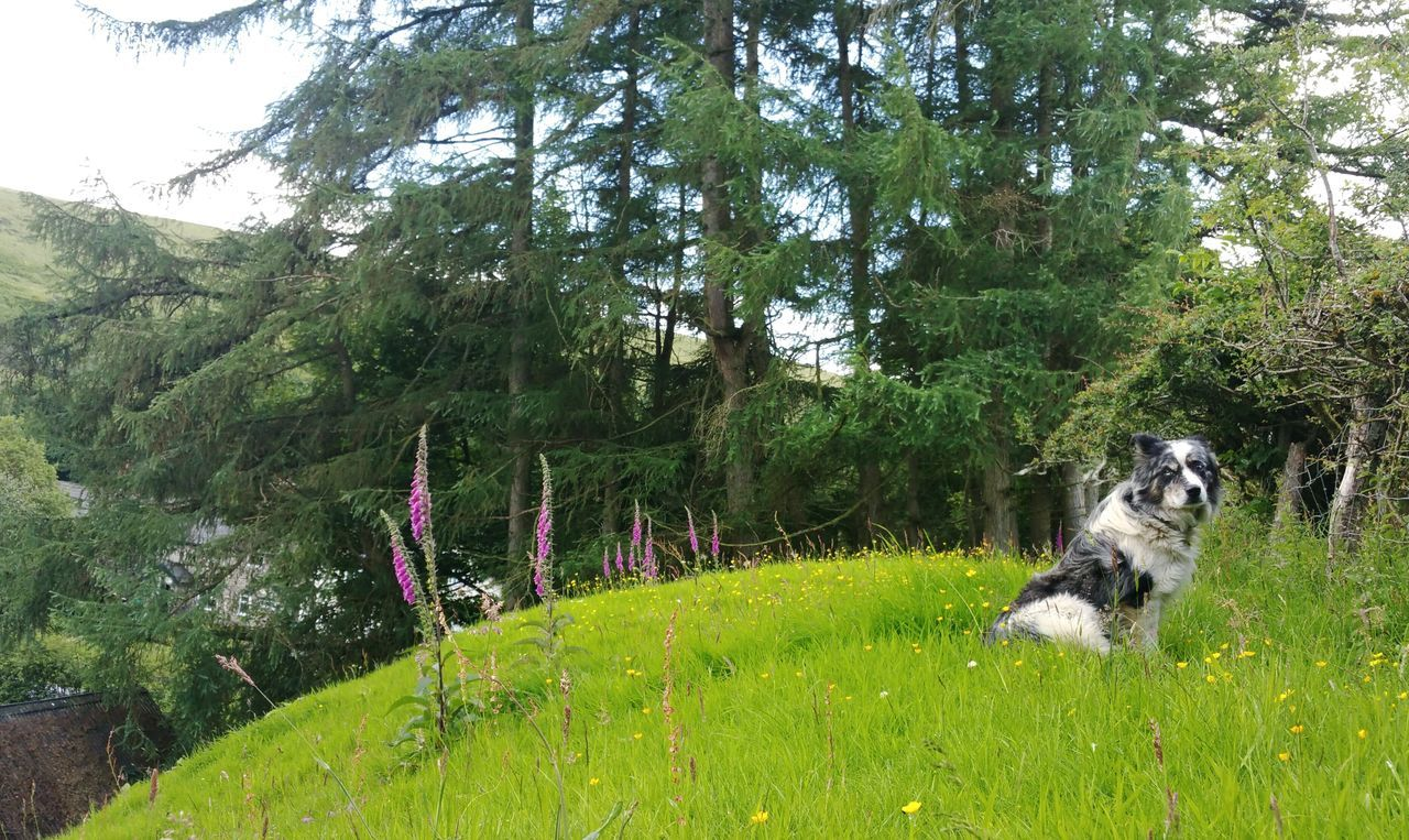 Tom & Foxgloves ... Dog Sheepdog Trees Farm Wales Flowers Countryside Rural Hills Summer собака овчарка наперстянка деревня Grass