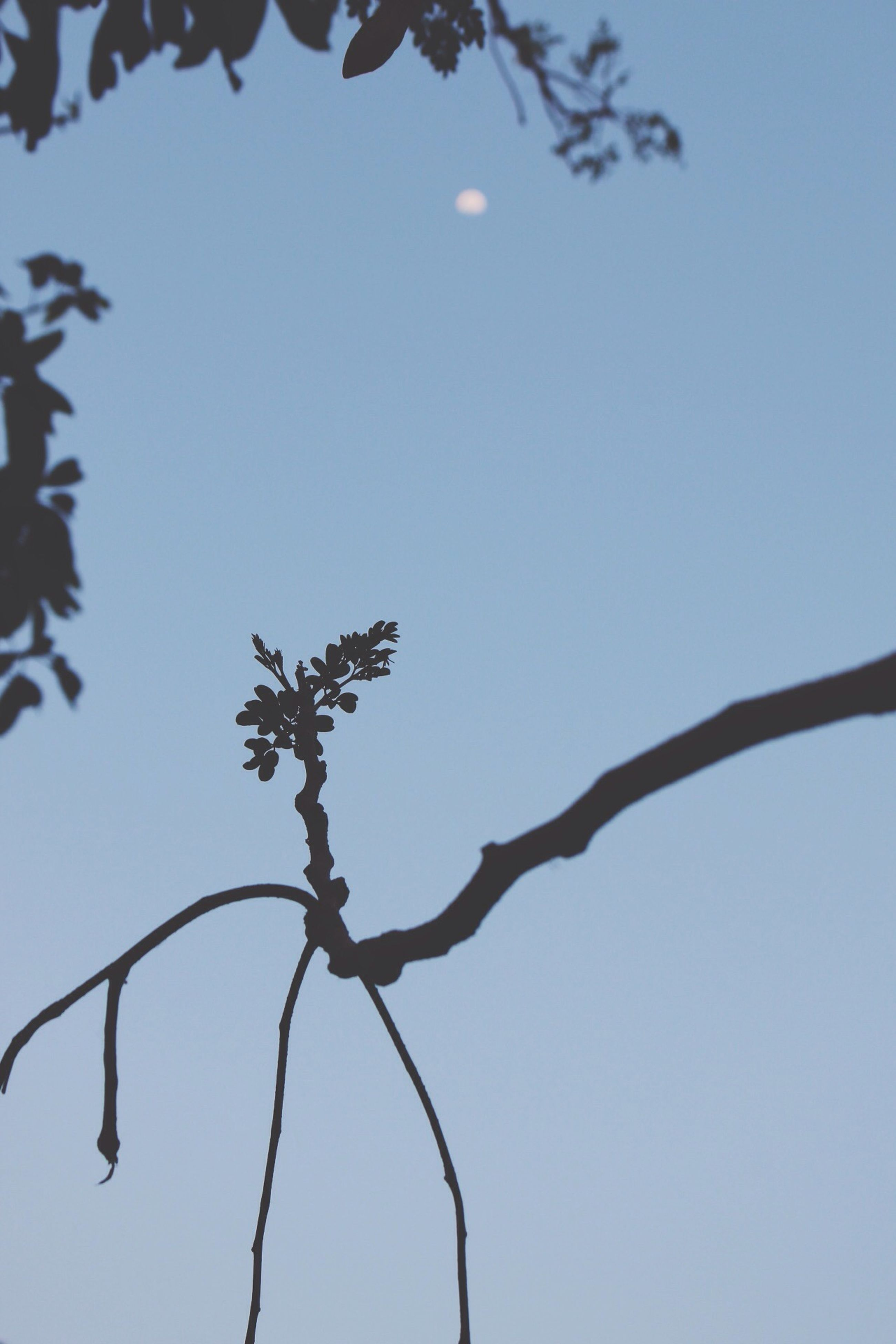 low angle view, clear sky, branch, nature, focus on foreground, tree, twig, close-up, sky, perching, animal themes, outdoors, copy space, blue, no people, day, silhouette, growth, animals in the wild, bird
