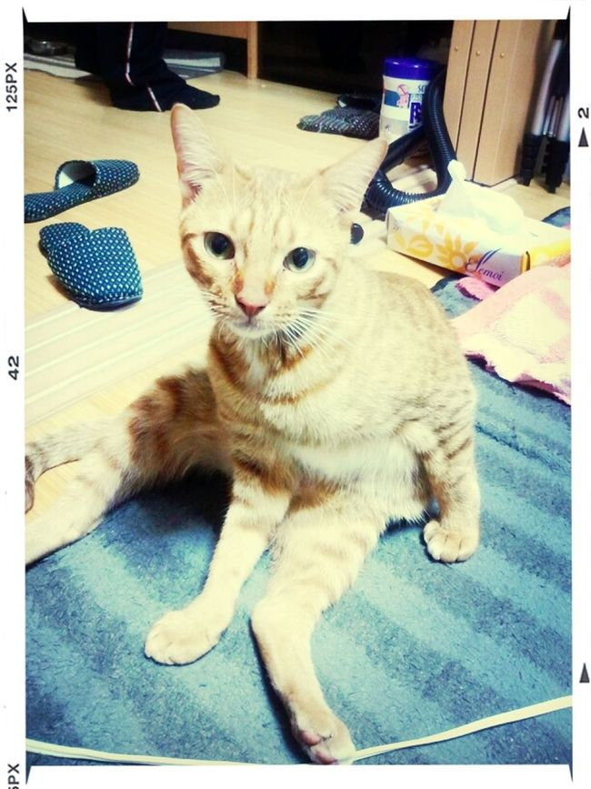 "Bingley's ""bitches come""-face lol Ocicat ねこちゃん Cats 猫"