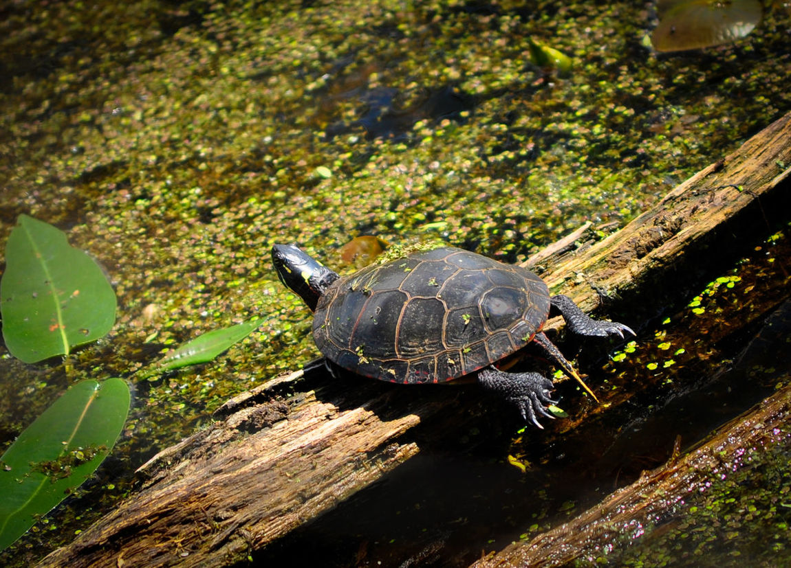 Hanging out in the sunshine! 🐢 Beauty In Nature Close-up Day Grass Green Color Growth Mageemarsh Nature No People Ohio, USA Outdoors Plant Relaxing Tranquility Turtle Turtle Love Turtles Wood - Material