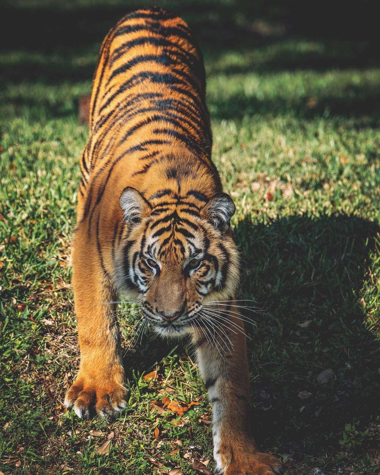 Animal Themes One Animal Grass Mammal Tiger Animals In The Wild No People Animal Markings Day Outdoors Nature Finding New Frontiers Eye4photography  EyeEm Best Shots Portrait Photography Creativity Multi Colored Portraits Animal Wildlife