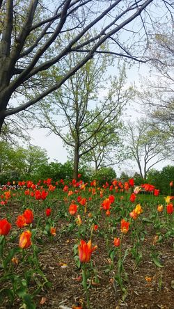 Tulips in the Park . Springflowers Tulips In The Springtime Spring Flowerlovers