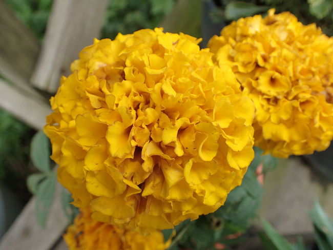 Beauty In Nature Blooming Close-up Flower Flower Head Focus On Foreground Fragility Freshness Nature Plant Yellow