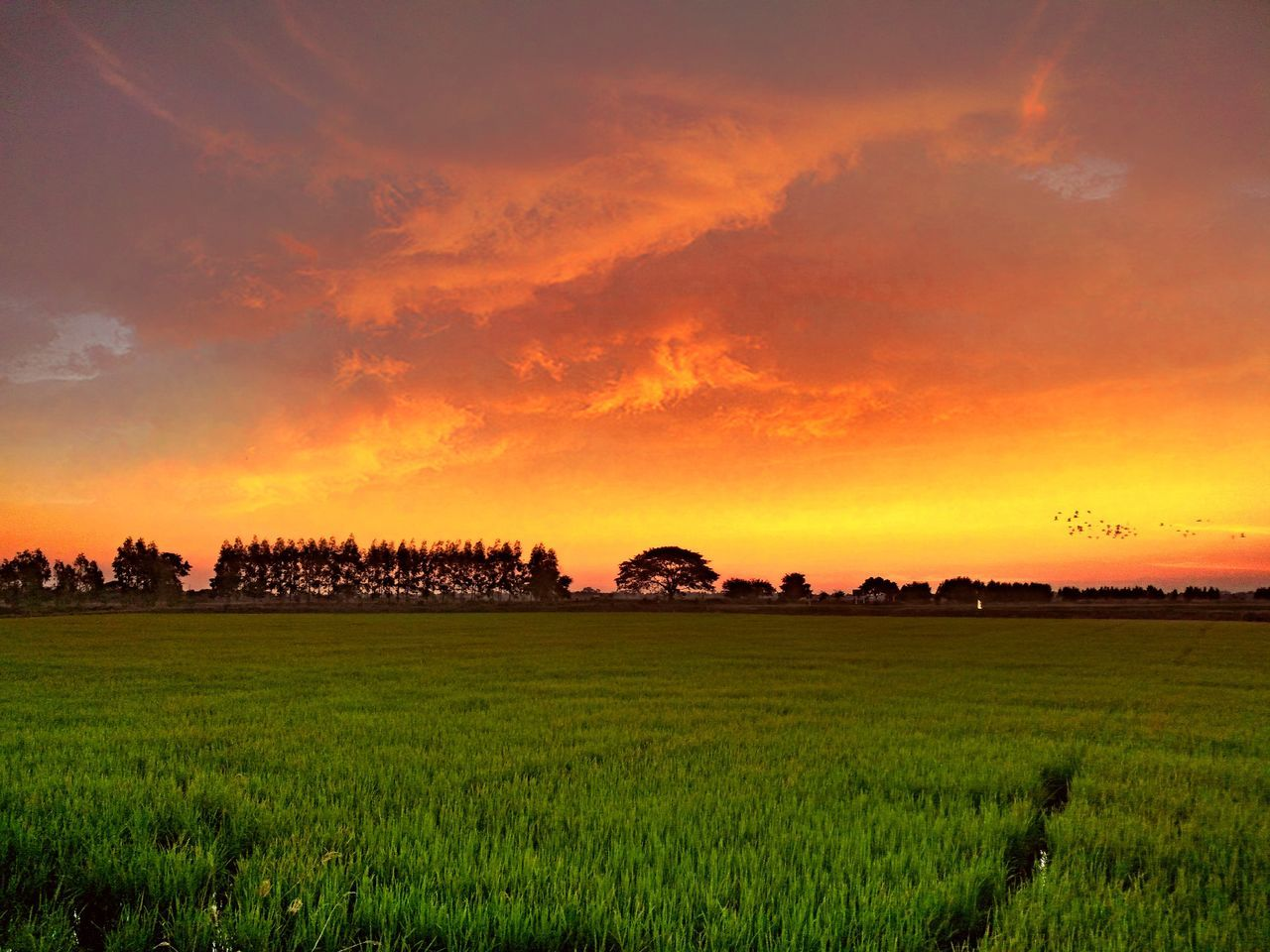 field, landscape, sunset, agriculture, nature, beauty in nature, farm, scenics, growth, tranquility, tranquil scene, rural scene, sky, crop, no people, outdoors, tree, rice paddy, day