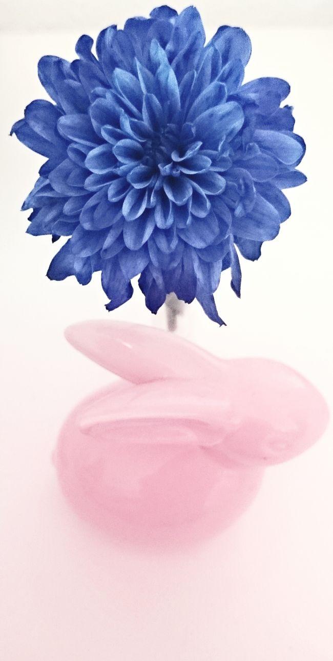 2016 Blossom Blue Blume Botany Bunny  Close-up Flower Flower Head Fragility Growth In Bloom Pastel Pink Royalblue Selective Focus Single Flower Softness Summer Vase White
