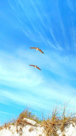 Pelicans Pelicans In Flight Quick Shot Overhead View Birdwatching Bird Lovers Gliders Bird Photography Birds Of EyeEm  Birds In Flight Birds_collection Feathered Friends Feel The Breeze Spread Your Wings Wildlife Photography Florida Life Walking On The Beach Enjoying Life Catch The Moment