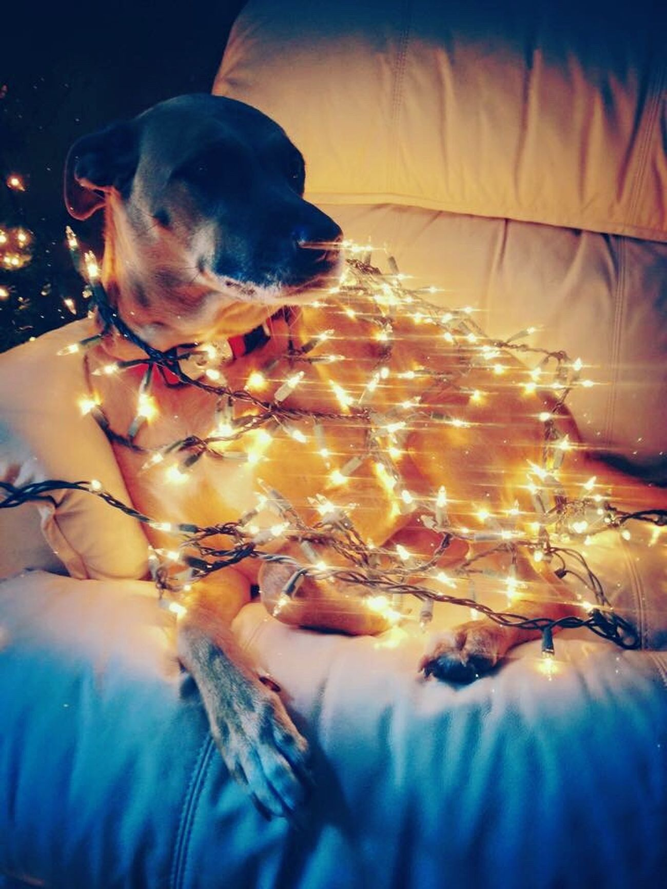 Dog Christmas Lights Christmas Lights Christmastime Shesconfused Sadiebaby
