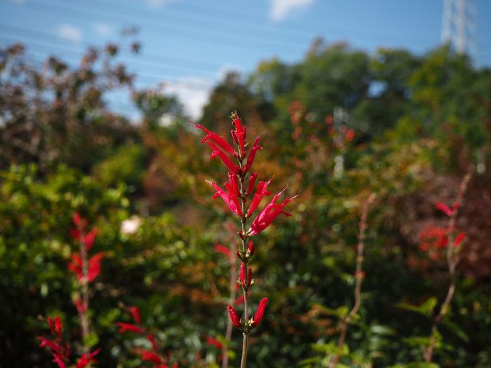 pineapple sage Red Autumn Focus On Foreground Leaf Nature No People Growth Day Outdoors Close-up Beauty In Nature Plant Freshness Naturelovers Nature Photography Nature_collection Taking Photos Taking Pictures Flower Flower Head Flower Collection Salvia Elegans