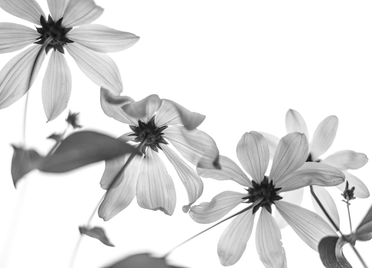 Beautiful stock photos of white, Beauty In Nature, Bloom, Close-Up, Copy Space