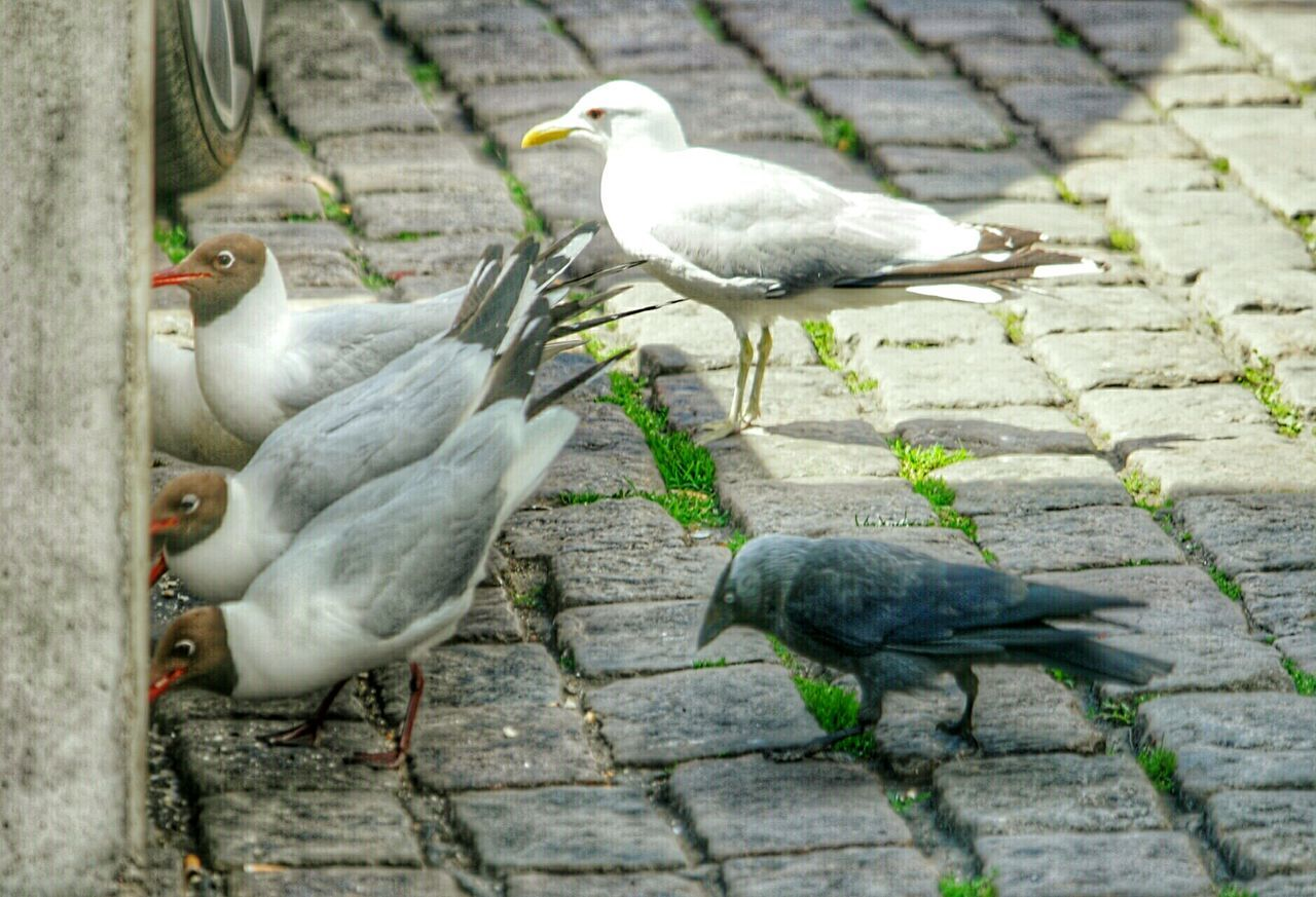 Seagulls And Jackdaws Seagulls In The City Urban Nature Urban Birds Birds In The City Turku Turkufinland Summer2016 Finland Herringgull Herring Gull Blackheaded Gull Black Headed Gull Laughing Gull Laughing Gulls