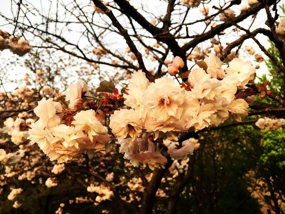 Eight Layer Leef Apple Blossom Beauty In Nature Blooming Blossom Botany Branch Burn Close-up Day Eight Flower Flower Head Freshness Growth Layers Nature Outdoors Petal Sakura Spring Springtime Sunset Sunset Silhouettes Sunset_collection Tree EyeEmNewHere