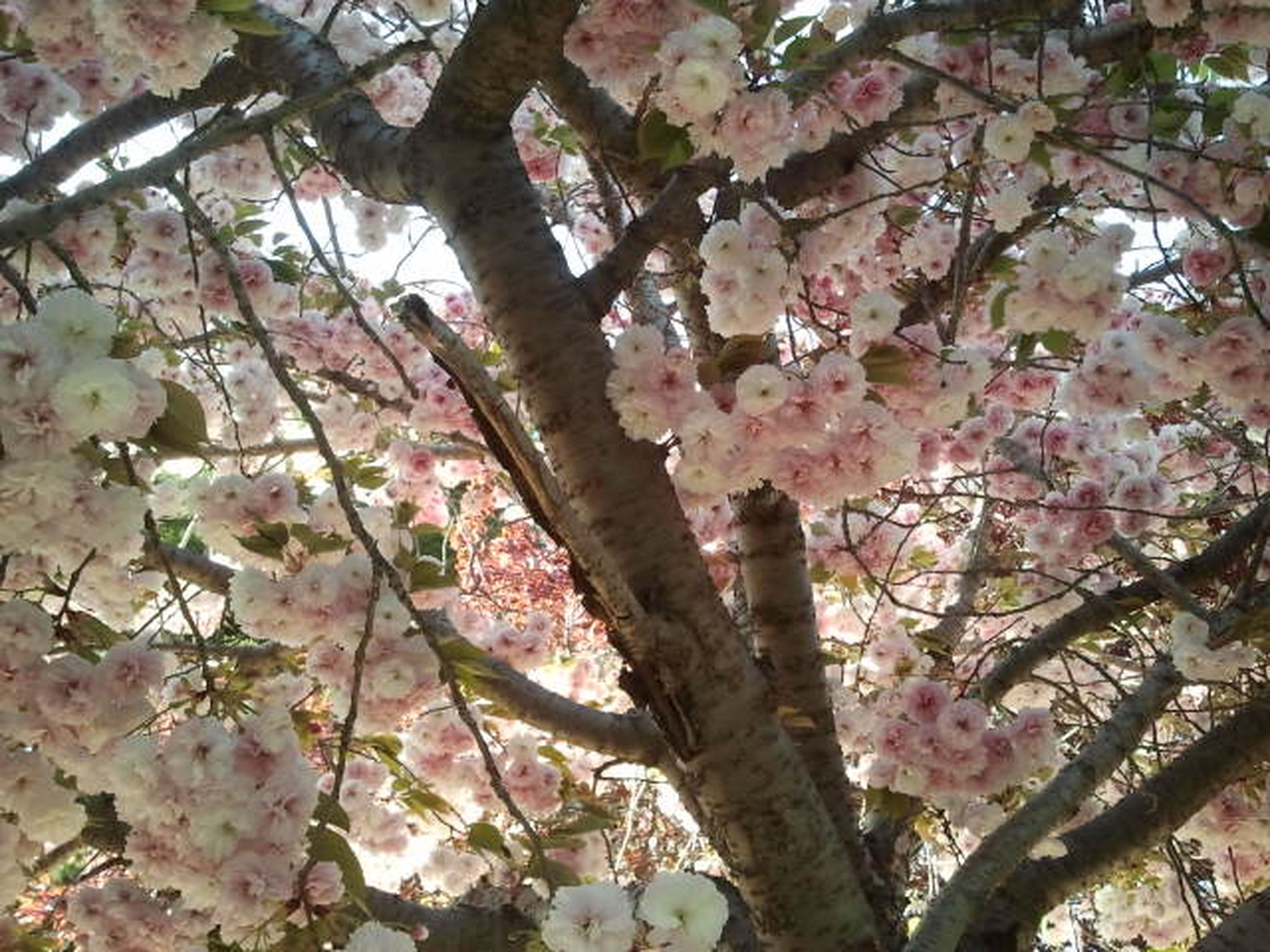branch, flower, tree, freshness, growth, low angle view, cherry blossom, blossom, cherry tree, beauty in nature, fragility, pink color, nature, springtime, fruit tree, in bloom, twig, blooming, day, outdoors