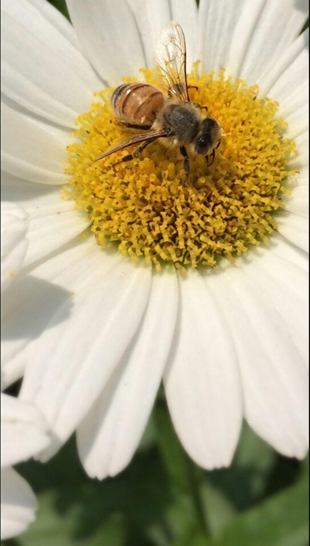 A Bee Summertime Daisy Beelove Savethebees