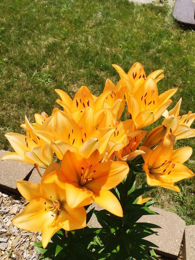 Still Life Flowers Pretty Orange Summer North Dakota Flower Collection