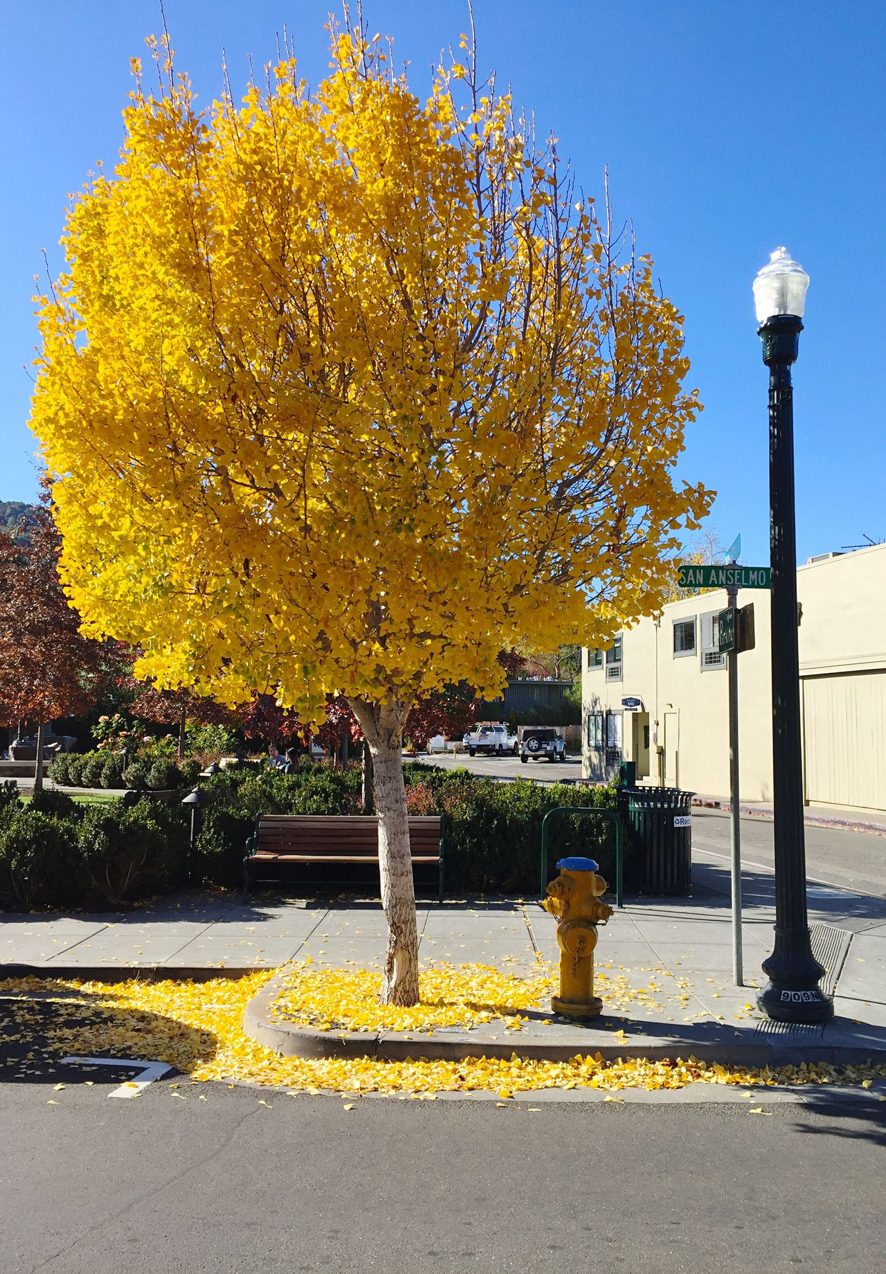 """Coordinated Colors"" A city fire hydrant harmoniously coordinates with a tree dressed in glorious yellow Autumn leaves and the crisp, clear blue sky, along San Anselmo Ave. in San Anselmo, California, USA. Firehydrant San Anselmo Marin County CA Golden Leaves Autumn Autumn Colors Autumn🍁🍁🍁 Autumn Leaves Fall Beauty Fall Colors Autumn 2015 Colors Of Autumn Autumn Collection Goldenleaves"
