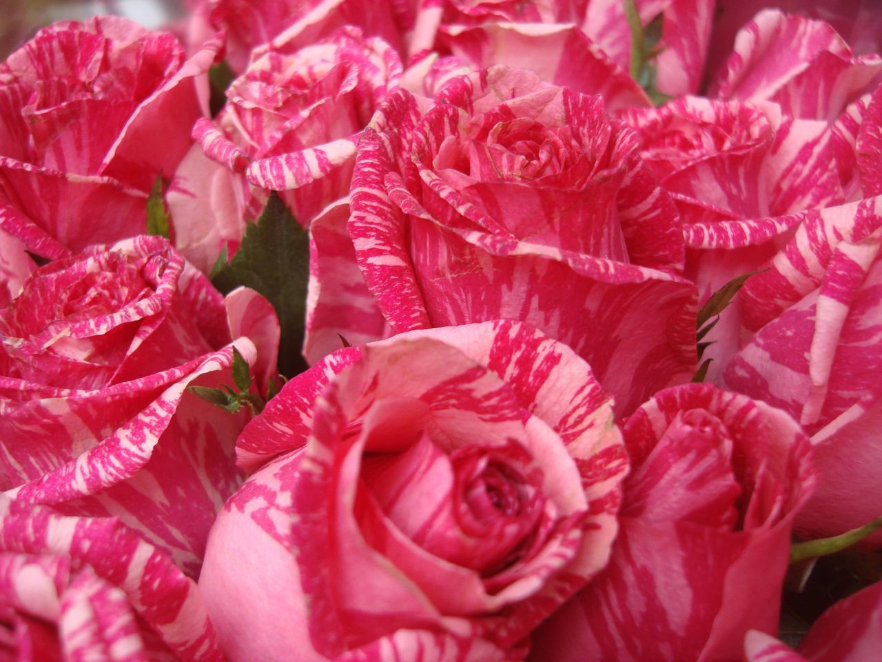 Full Frame Shot Of Pink Roses