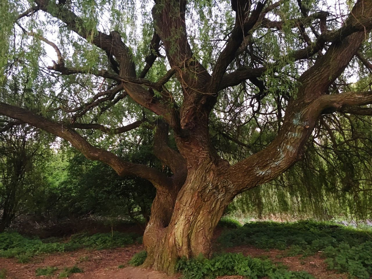 Tree Tree Trunk Branch Nature Growth Tranquility No People Beauty In Nature Outdoors Day Huge