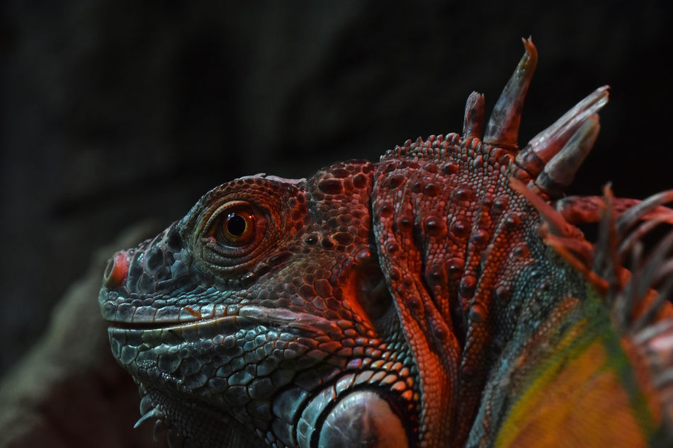 Close up portrait of green iguana male in profile over dark or black background Animal Themes Animal Wildlife Animals In The Wild Black Background Close-up Color Dark Background Dinosaur Dragon Green Green Iguana Iguana Lizard Looking Away Male One Animal Outdoors Portrait Reptile Side Portrait Side View Skin Wild Wildlife Zoo