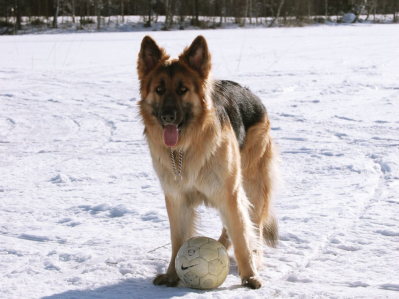 Atlas Shilohshepherd Shiloh Shepherd Germanshepherd German Shepherd Winter Ball Dog