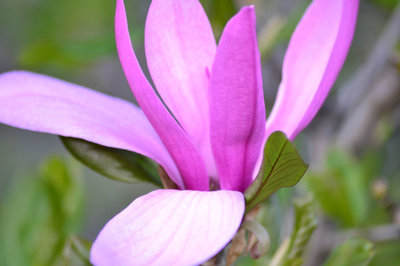 flower, petal, fragility, beauty in nature, nature, freshness, growth, flower head, pink color, close-up, plant, outdoors, day, blooming, focus on foreground, no people, leaf, crocus