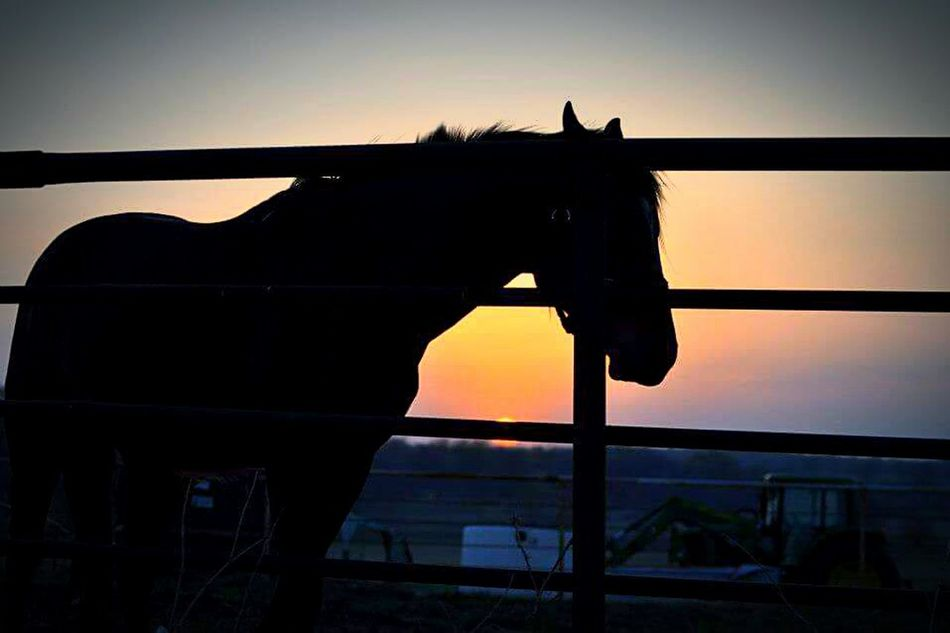 Country livin Dusk Silhouette Animal Themes Ranch Sky Zoology Herbivorous No People Livestock Sunset Horselovers Countrylife Oklahoma Skies Oklahoma Oklahomaphotography Oklahoma Wildlife Mobile_photographer Lifeisbeautiful Life In Color Nature_collection Landscape_collection EyeEmNatureLover Non-urban Scene Daydreamer EyeEm Best Shots - Sunsets + Sunrise EyeEm Nature Lover LoveNature