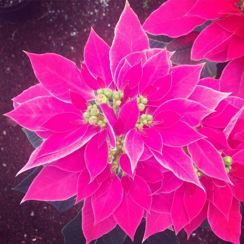 Flor de noche buena Fragility Flower Pink Color Petal Nature Beauty In Nature Growth Plant Freshness Close-up Colour Of Life Flor De Noche Buena Flowers Viveros De Atlixco Pink Pink Flower