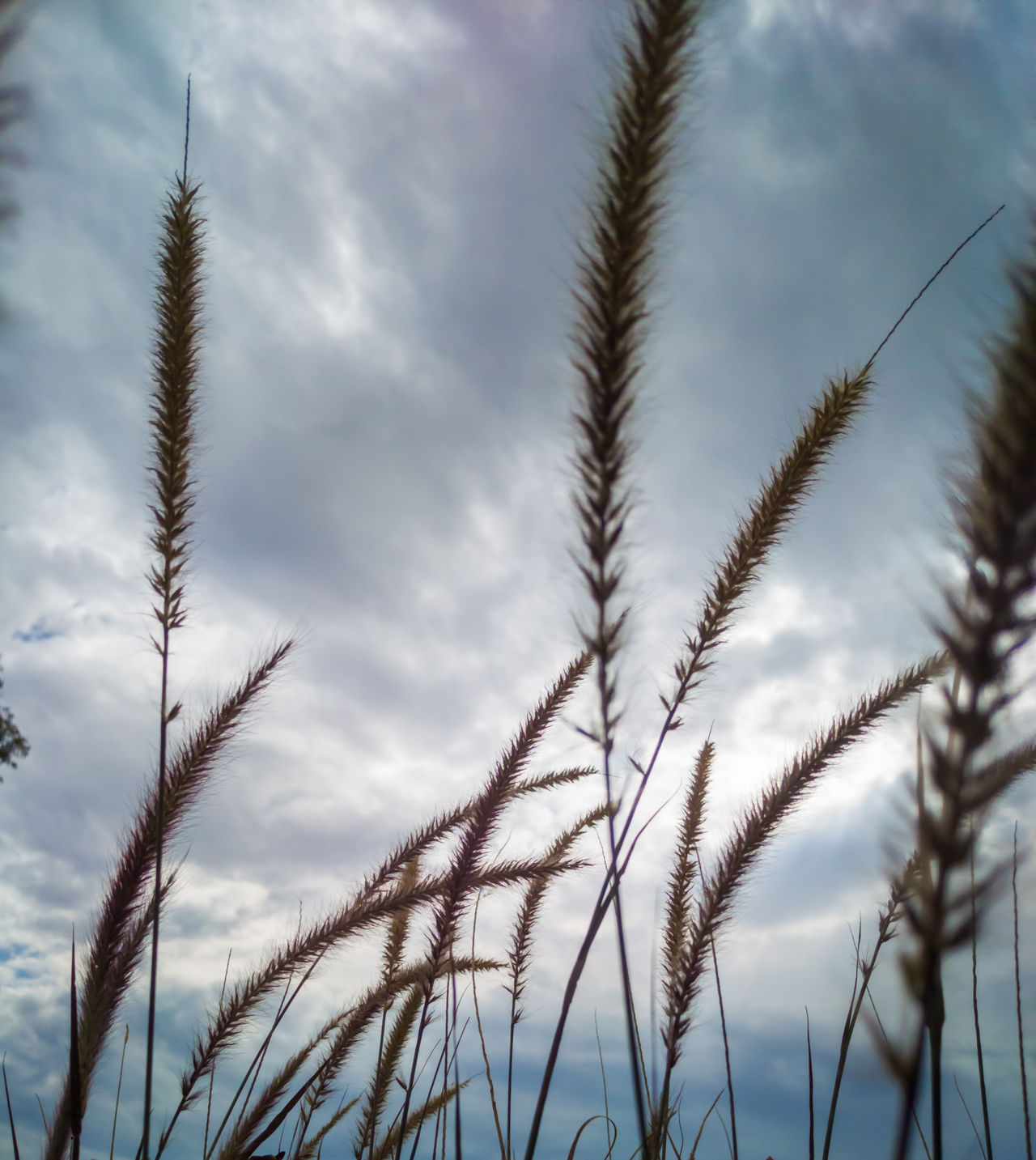 Nature Plant No People Outdoors Close-up Growth Rural Scene Timothy Grass Cloud - Sky Sky Day