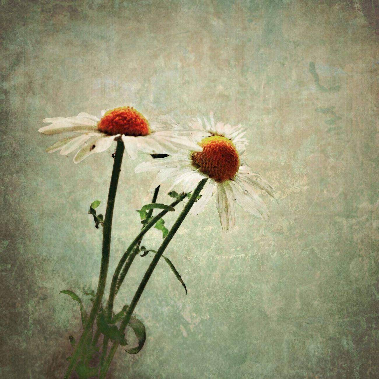 Daisies NEM Still Life NEM Painterly Flowers