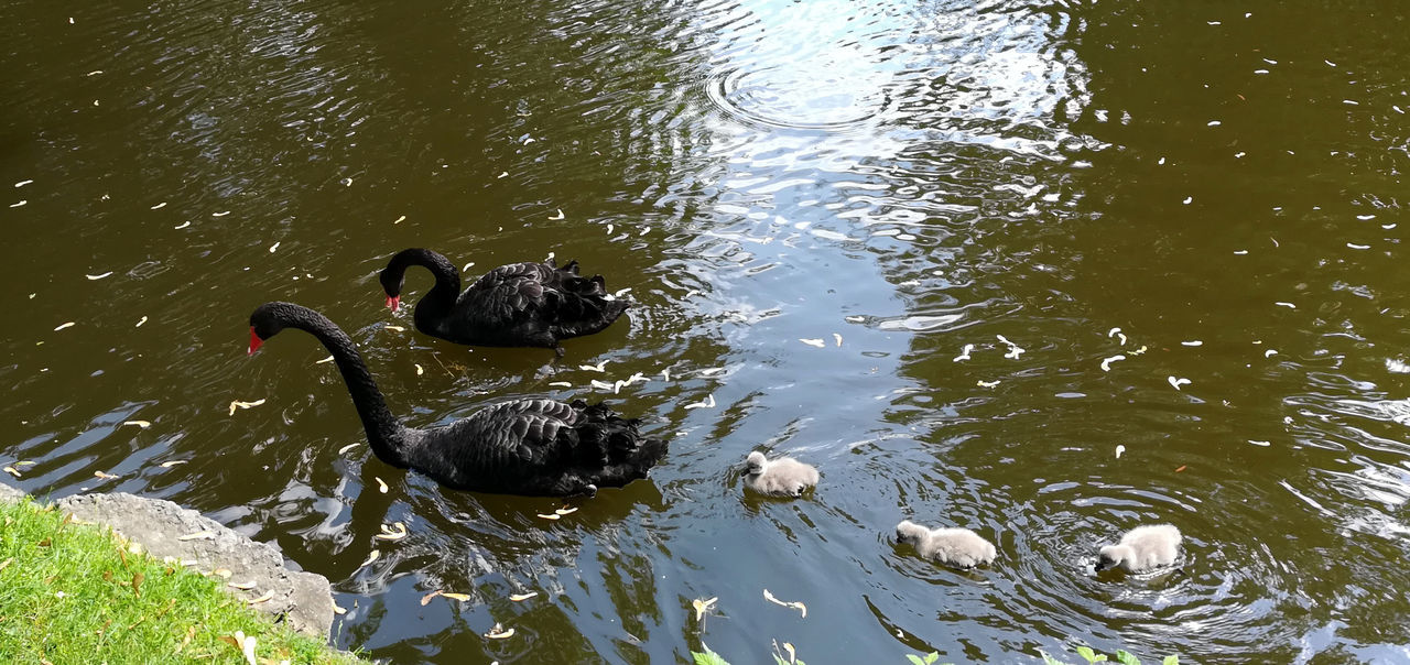Animal Themes Animal Wildlife Animals In The Wild Bird Black Swan Black Swan Swimming Black Swans Day Lake Nature No People One Animal Outdoors Swan Swans Swimming Water Water Bird Waterfront Young Swans
