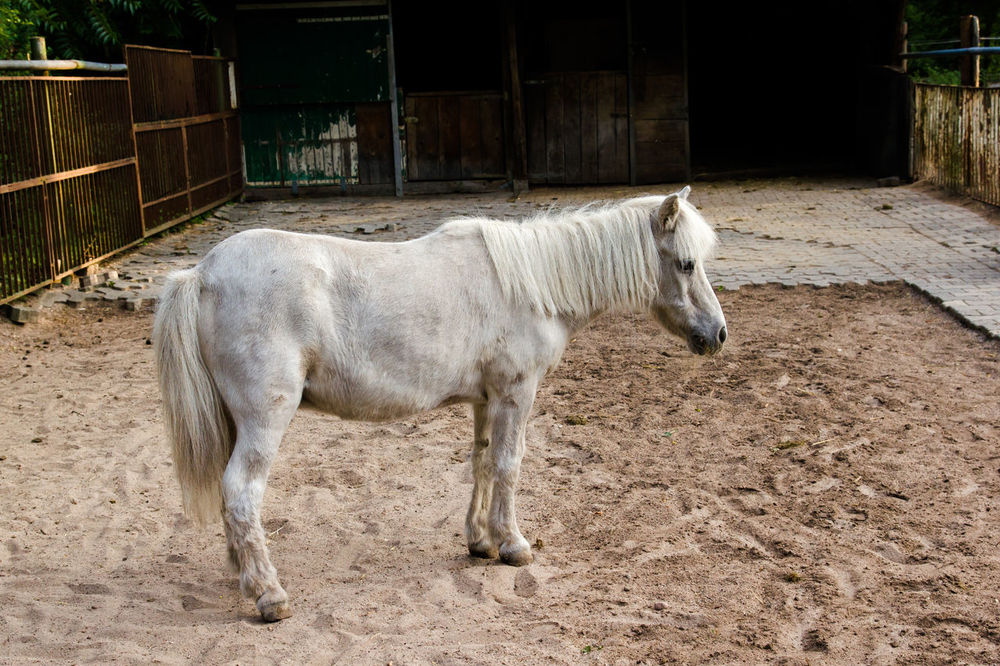 White Pony Animal Pen Animal Themes Domestic Animals Domestic Cattle Farm Field Herbivorous Livestock Mammal No People One Animal Pony Rural Scene Stable White Pony Young Animal Zoology