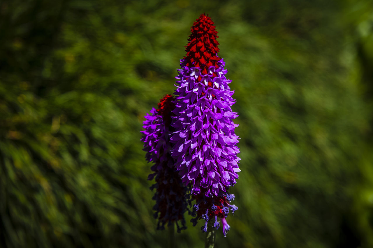 Primula vialii has stout stems up to 60 cm tall, topped with spires of numerous, tiny, pinkish-purple flowers, which are red at the top of the spike when in bud. The flowers open from June to August. The leaves are erect, spear-shaped, softly hairy, and up to 30 cm long. http://www.kew.org/science-conservation/plants-fungi/primula-vialii-orchid-primrose Beauty In Nature Close-up Flower Flower Head Nature Primrose Primula Purple Red Flower Relaxing