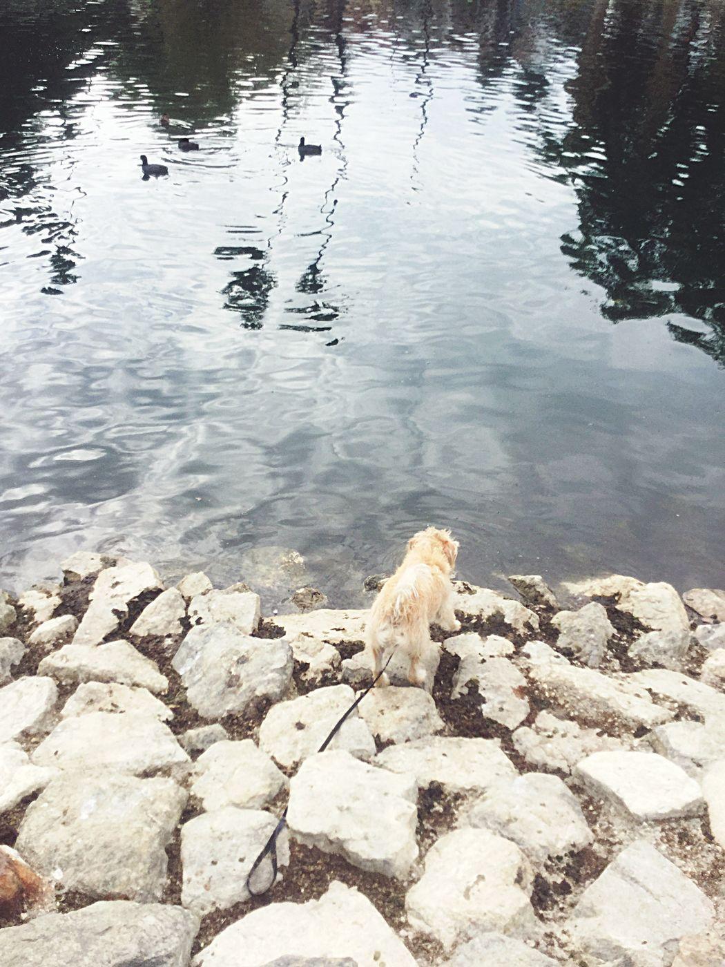 Echo Park Lake Keoki Ducks Rocks Rocks And Water Dog One Animal Animal Themes Pets Water Domestic Animals Mammal Nature Day No People Outdoors