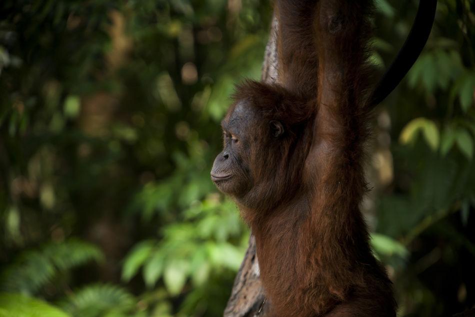 Orang Utan in Wild Animal Themes Animals In The Wild Ape Beauty In Nature, Endangered Animals Forest INDONESIA Kalimantan Monkey Orang Utan Photography Primate Sumatra  Wild Animals