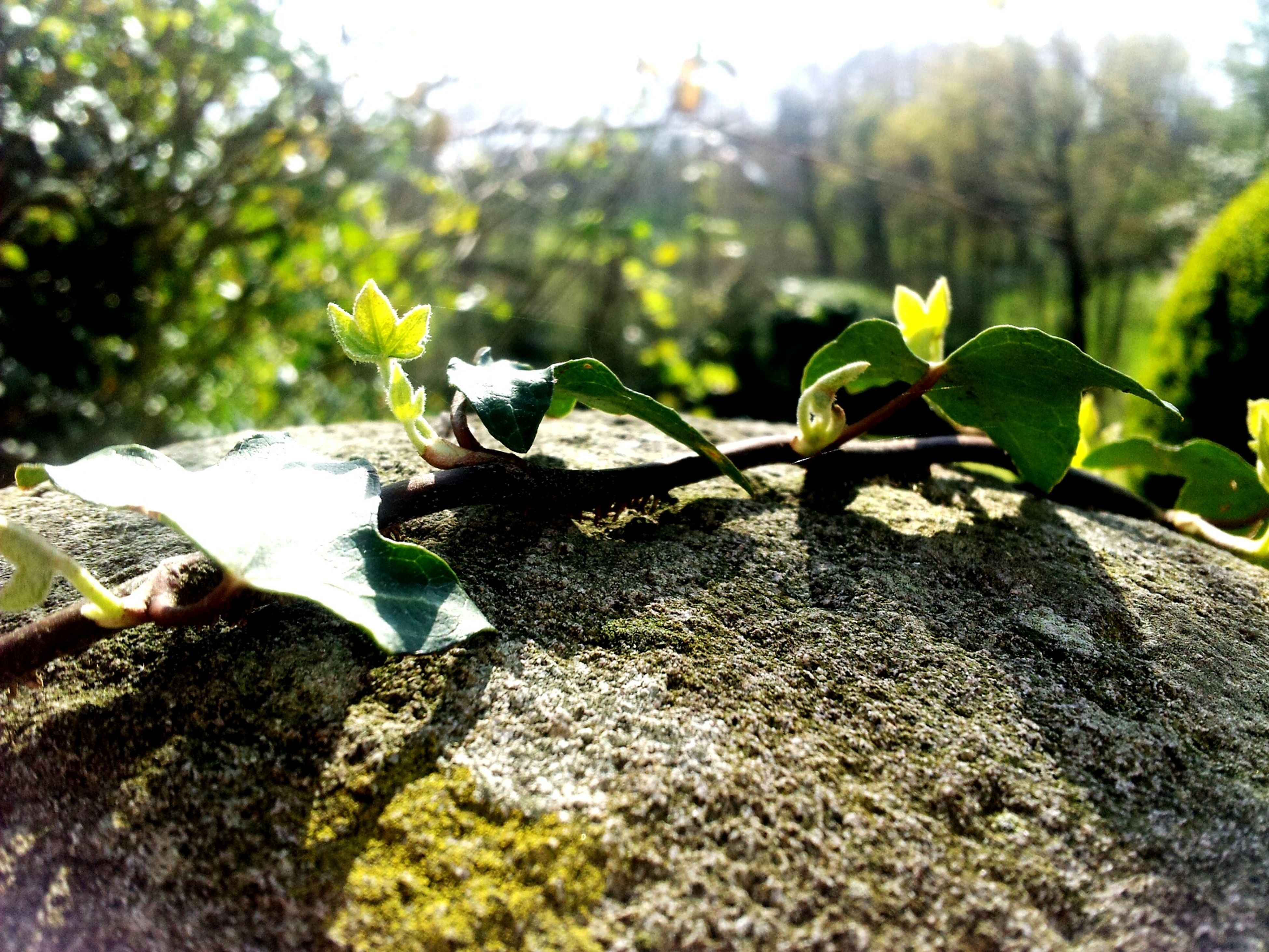 leaf, tree, focus on foreground, nature, growth, selective focus, green color, close-up, rock - object, day, outdoors, tranquility, plant, no people, sunlight, growing, beauty in nature, branch, surface level, sky