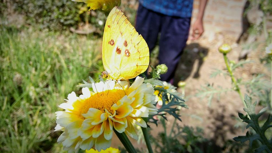 Whiteflowers Butterfly Effect Everything In Its Place Butterfly Collection ,beauty,of Nature Yellow Animal Themes Insect Close-up Flower Head Beauty In Nature Focus On Foreground Nature Growth Flower Outdoors Day No People