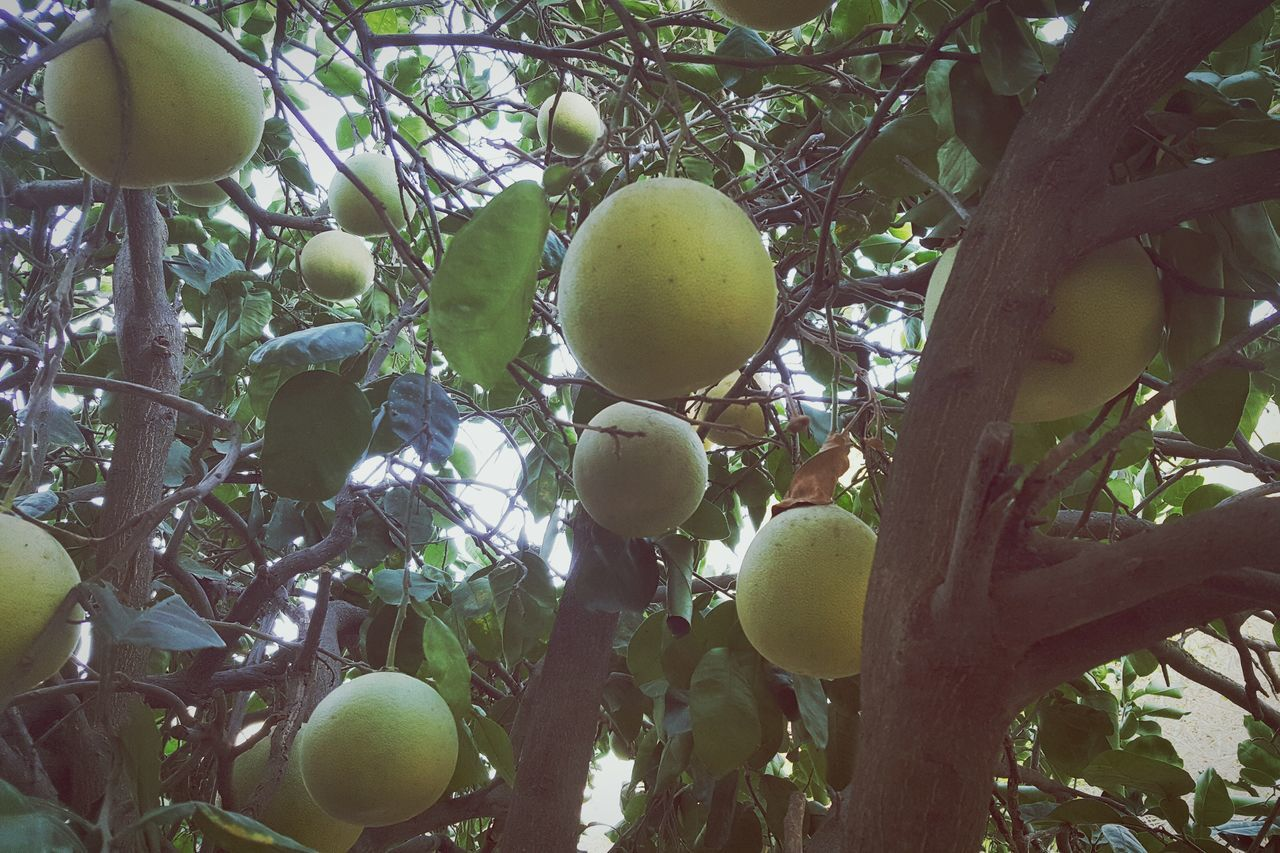 fruit, tree, food and drink, healthy eating, food, growth, freshness, branch, citrus fruit, apple - fruit, no people, day, outdoors, ripe, low angle view, nature, leaf, beauty in nature, close-up